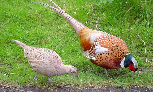 Game Birds: Pheasant - Our Products – Dartagnan.com