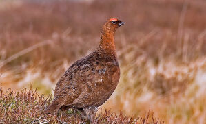 wild-scottish-grouse-recipes-and-uses