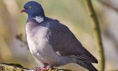 wild-scottish-wood-pigeon-recipes-and-uses