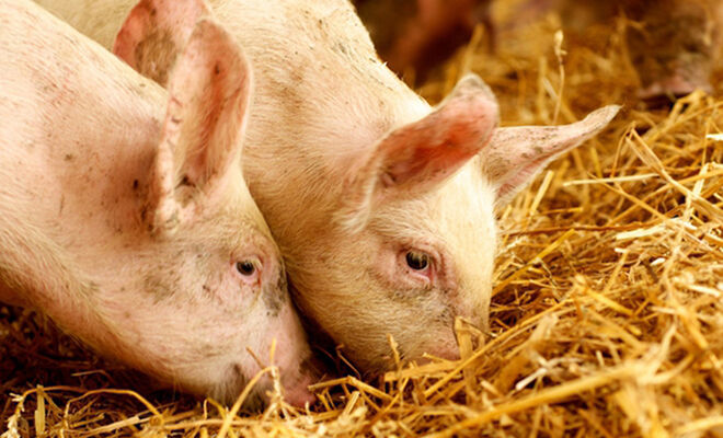 history-of-pigs-and-pork