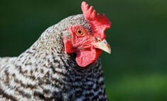chicken-history-facts-recipes