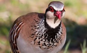 wild-scottish-partridge-recipes-and-uses