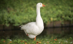 goose-facts-and-cooking