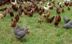 organic-free-range-chicken-facts