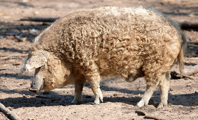 What Is A Mangalitsa Pig D Artagnan