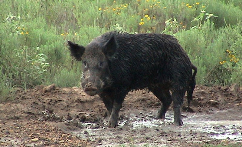 A few Words on Wild Boar - Our Products – Dartagnan.com