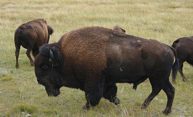Health Benefits Of Buffalo Meat D Artagnan