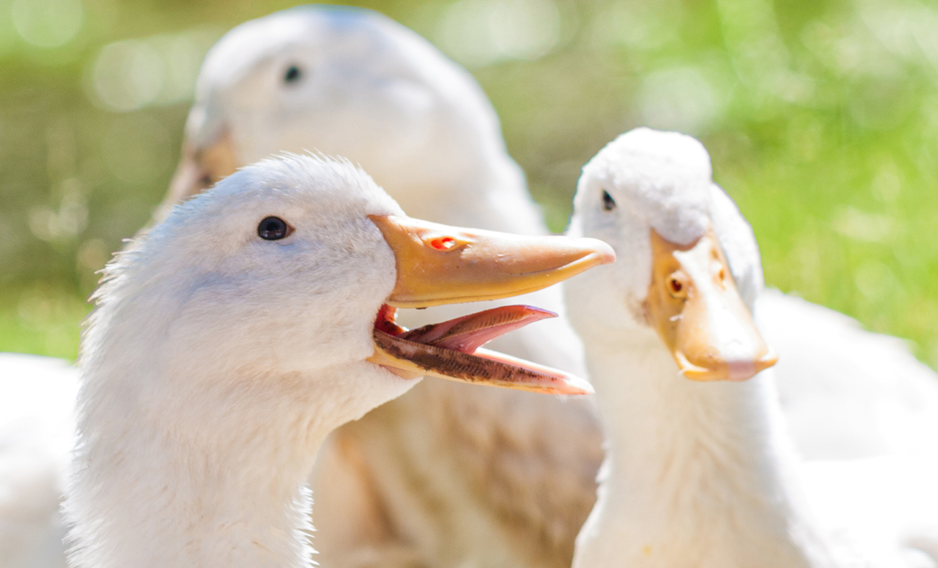 Domestic duck and its types